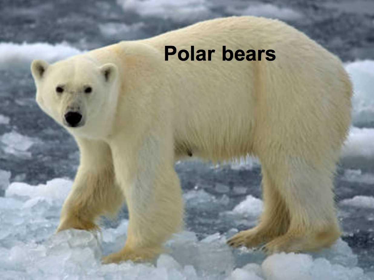 Adaptation of Polar Bears http://www.college-kerzouar-saintrenan.ac ...