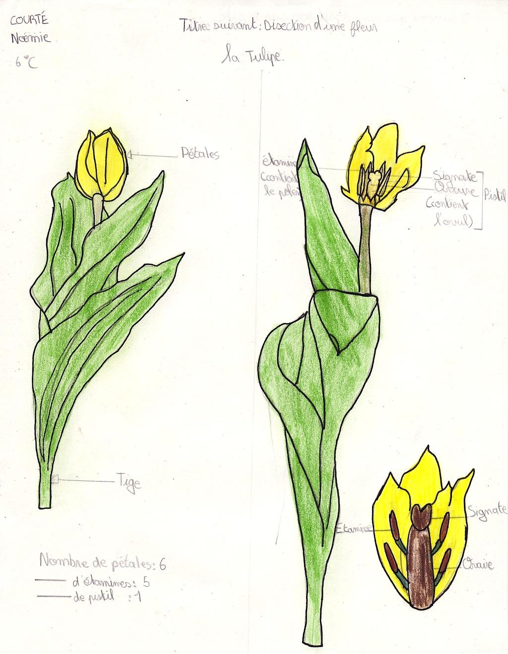 Le Coeur Dune Tulipe Est Plein De Couleurs De Fragances Et De