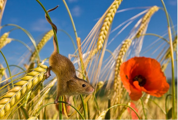 The Telegraph - The secret life of the harvest mouse : cute pictures by Jean-Louis Klein and Marie-Luce Hubert